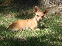Chihuahua - Millie-4f1d - Small - Adult - Female - Dog