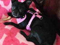 Chihuahua - Millie - Small - Adult - Female - Dog