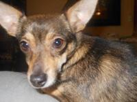 Chihuahua - Mimi, Adoption Pending - Small - Young -