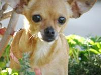 Chihuahua - Mini Me - Small - Adult - Female - Dog
