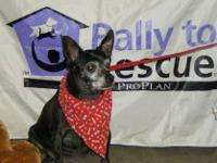 Chihuahua - Missy - Small - Senior - Female - Dog