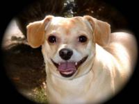 Chihuahua - Mitzie - Small - Adult - Female - Dog CAN
