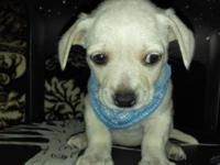 Nice friendly white 6 week old Chihuahua mix no shots