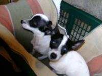 We have two Chihuahua Terrier mix puppies left. They