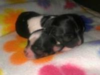 I have a female and male mix chihuahua puppies. They