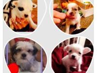 ello, i have 3 chihuahua mix terrier left 2 boys and 1