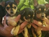 3 male, 9 week old chihuahua/silky terrier puppies.