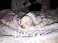 I have four beautiful two weeks old chihuahua mixed