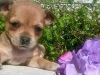 Three Adorable-Playful Chihuahua Mix Puppies need a