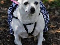 Chihuahua - Monique - Small - Adult - Female - Dog