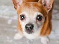 Chihuahua - Monkey D122205 - Small - Adult - Male -