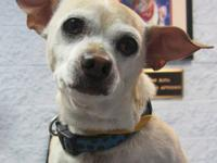 Chihuahua - Munchkin - Small - Adult - Male - Dog Hey