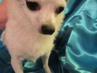 Chihuahua - Murray - Small - Adult - Male - Dog This is