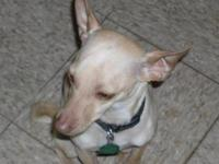Chihuahua - Muscleman - Medium - Adult - Male - Dog
