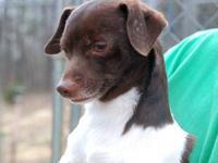 Chihuahua - Myles - Small - Senior - Male - Dog Hi, I'm