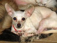 Chihuahua - Nadia - Small - Adult - Female - Dog Nadia