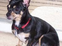 Chihuahua - Nevada - Small - Adult - Female - Dog
