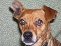 Chihuahua - Nicky - Small - Young - Male - Dog Nicky is