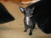 Chihuahua - Nosey-has Been Adopted - Small - Young -