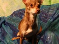 Chihuahua - Oakley - Small - Adult - Male - Dog Oakley