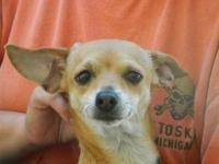 Chihuahua - Odette - Small - Young - Female - Dog