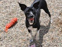 Chihuahua - Oreo - Small - Young - Male - Dog Oreo is a