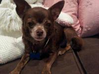 Chihuahua - Paco Chi - Small - Adult - Male - Dog