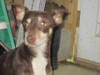 Chihuahua - Paco - Small - Adult - Male - Dog Paco is a