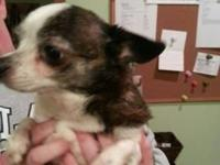 Chihuahua - Paisley - Small - Adult - Female - Dog