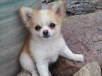 Papillon/Chihuahua puppy born in April of 2015. Very