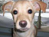 Chihuahua - Peach - Small - Baby - Female - Dog Peach