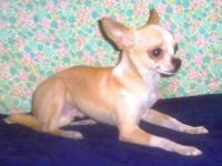 Chihuahua - Peanut $555 Ckc 3lbs - Small - Baby - Male