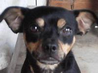 Chihuahua - Peanut 76547 - Small - Adult - Male - Dog