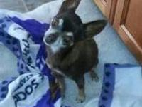 Chihuahua - Peanut - Small - Adult - Female - Dog