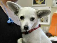 Chihuahua - Peanut - Small - Young - Female - Dog
