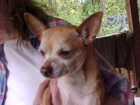 Chihuahua - Peanut - Small - Young - Male - Dog Peanut