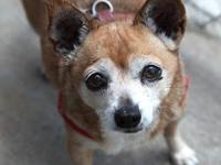 Chihuahua - Pee Wee & Prissy~sponsored - Small - Senior
