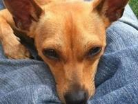 Chihuahua - Pee Wee - Small - Young - Male - Dog he 2yr