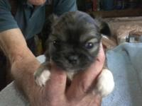 Pekachu puppies prepared Christmas day. 1 female $350 4