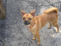 Chihuahua - Penny - Small - Young - Female - Dog