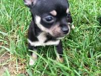 Perfect chihuahuas! All puppies now $200 each! (firm)