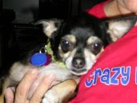 "Chihuahua - Persephone ""percy"" - Small - Adult - Female"