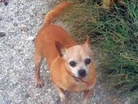 Chihuahua - Pixie - Small - Adult - Female - Dog Pixie