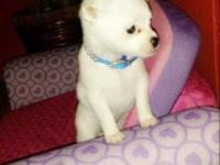 Chihuahua/Pomeranian female puppy for sale. She is
