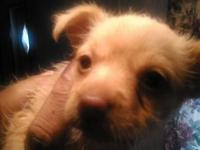 I have a 2 months old Chihuahua/ Pomeranian mix female