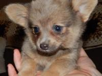 Pomeranian Chihuahua mix puppies born on July 28th,