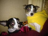 Chihuahua - Poncho - Small - Senior - Female - Dog