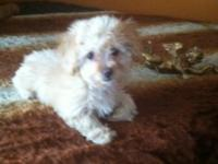 Chipoo female 12 weeks old. Vet checked up to date on