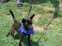 Chihuahua - Poppy - Small - Young - Male - Dog Hi