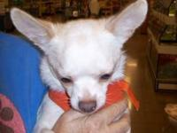Chihuahua - Princess Chloe - Small - Adult - Female -